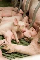 kleine Schweine foto