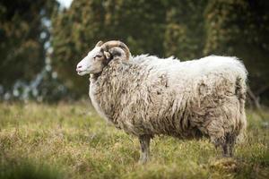 großes weißes männliches Schaf, das im Gras steht foto