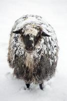 süße Schafe bedeckt mit einem Schnee, der in die Kamera schaut foto