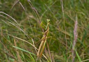 Gottesanbeterin auf Gras foto