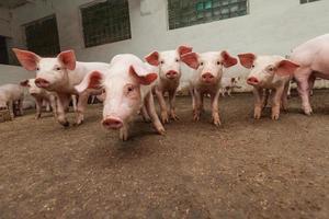 Schweinefarm foto