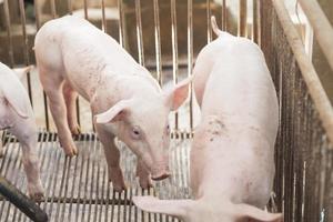 kleine Schweine spielen glücklich. foto