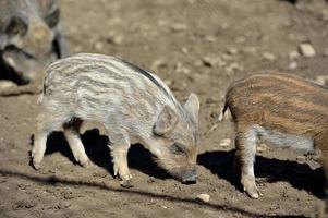 Wildschwein im Wald foto
