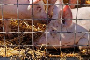 trauriger Blick von zwei Schweinen im Käfig, die auf Stroh liegen foto