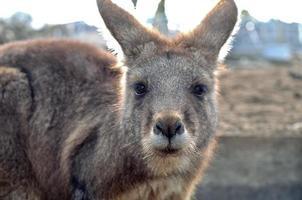 braunes Känguru starrt dich an