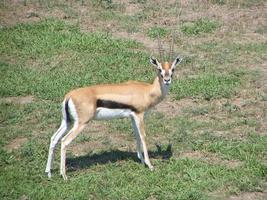 Thompson's Gazelle foto