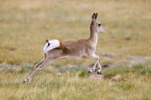 Gazelle läuft