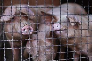 Schweine in einer Scheune foto