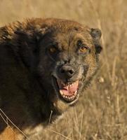 gefährlicher Hund foto