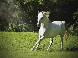 weißes arabisches Pferd, das in der Natur läuft foto