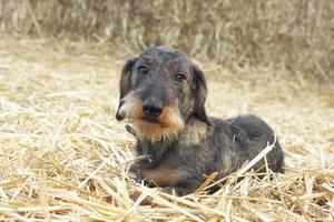Drahthaariger Dackelhund, der auf Heu liegt foto