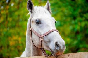 Gesicht ein Pferd, das die Kamera Nahaufnahme betrachtet foto