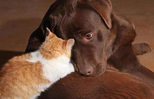 kleine orange Katze mit einem braunen Labrador foto