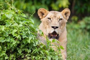 das porträt des weißen löwen im thailändischen zoo foto