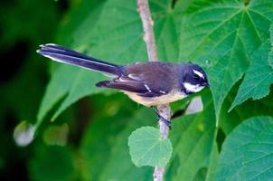 Neuseeland Fantail foto