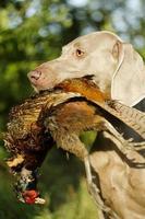 schöner weimaraner hundewelpe mit fasanenjagd