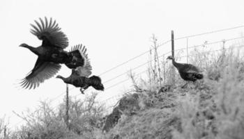 Fasanenfliege versucht Flucht Großwildbrücke Winterlandschaft foto