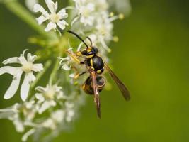 Nahaufnahme einer kleinen Wespe