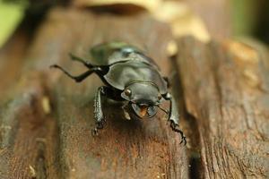Käfer auf Holz foto