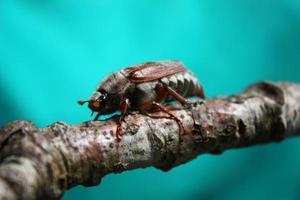 prächtiger Maikäfer-Insektenkäfer foto