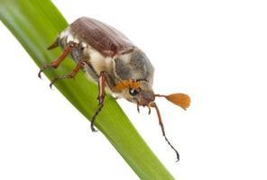 kriechender May-Bug foto
