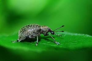 grauer Käfer foto