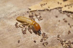 Termite mit Eiern foto