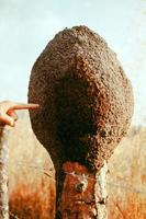 Termitenkolonie