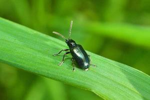 schwarzer Käfer auf Gras foto