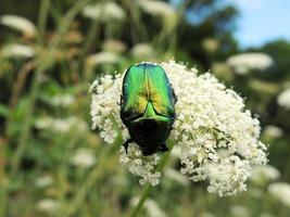 Käfer auf einer Blume. foto