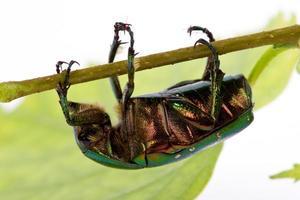 Rosenkäfer krabbelt auf einem Ast foto