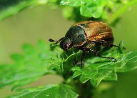 groß kann Käfer