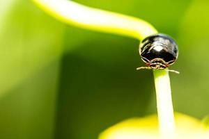 schwarzer Käfer auf Blume