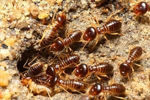 Gruppe von Termiten