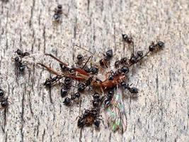 schwarze Ameisen verschlingen ein Insekt