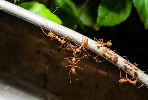 Ameisen helfen sich gegenseitig bei der Arbeit foto