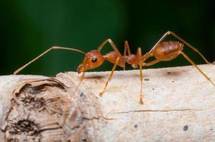 geschlossene rote Ameise auf Baum foto
