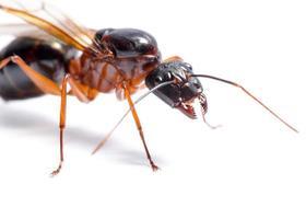 schwarze Zimmermannsameise (Camponotus pennsylvanicus)