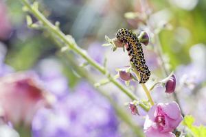 Königskerze Motte foto