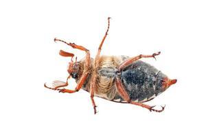 Käfer isoliert auf weißem Hintergrund foto