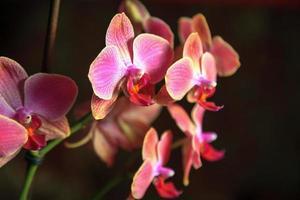 lila Orchideenzweig foto