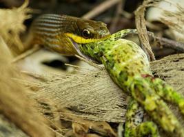 Schlange, die eine Eidechse in Bahia, Brasilien isst foto