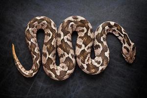 Viper Schlange