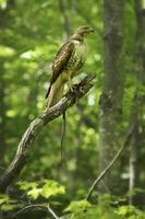 Red Tail Hawk mit Strumpfbandschlange in einem Baum, Connecticut. foto