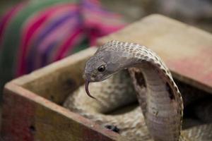 Viper Cobra Schlange foto