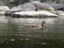 Ente auf Wasser foto