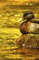 Ente am Wasser foto