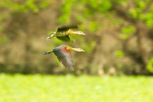 kleinere pfeifende Ente foto