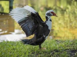 Muscovy Ente mit Flügeln weit verbreitet foto
