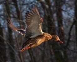 fliegende Ente foto